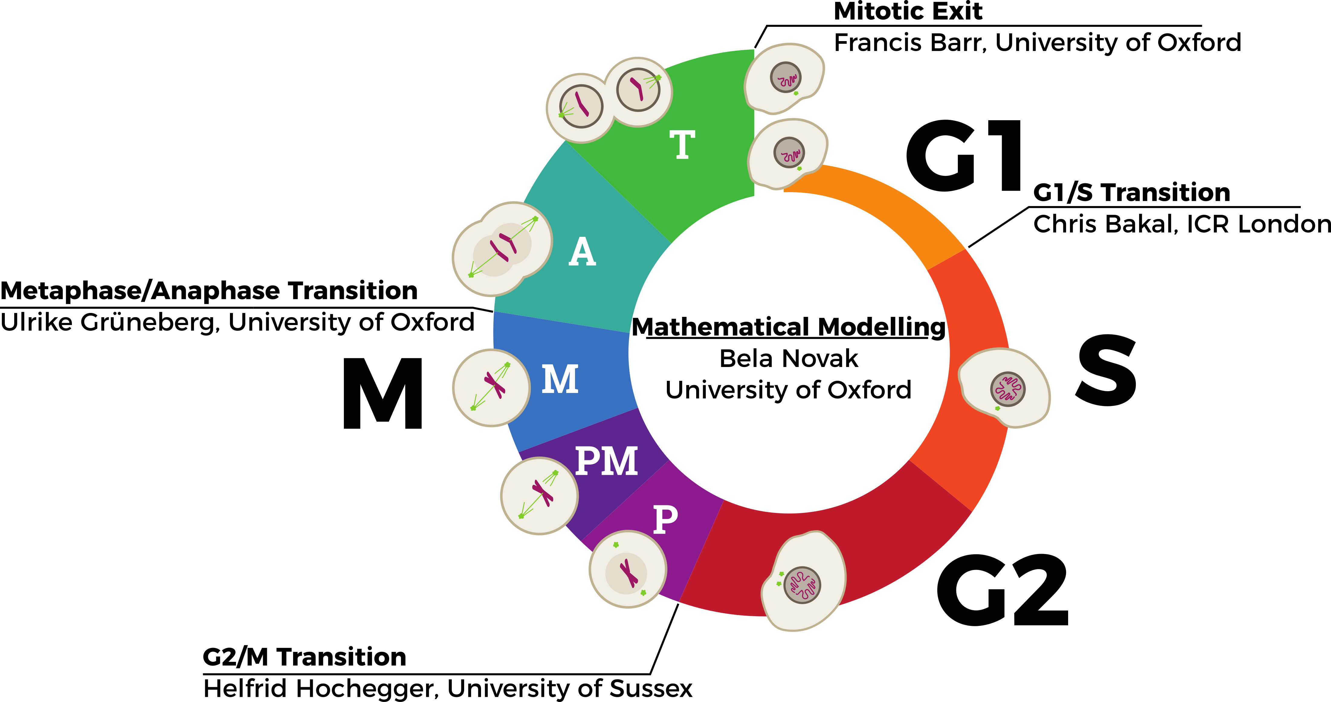 Bbsrc bistability of cell cycle transitions project during human development and growth cells must proliferate in an ordered and controlled manner to form the adult body the cell cycle is a series of events ccuart Choice Image